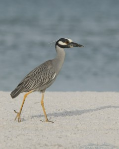 Yellow-crowned taking a stroll on the beach