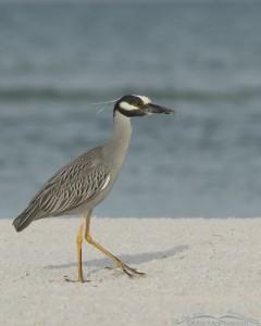 Yellow-crowned Night Heron walking on a sandy beach