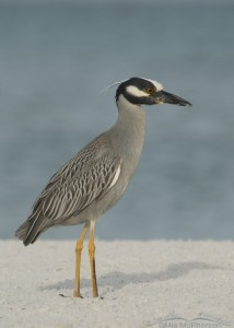Adult Yellow-crowned Night Heron side view