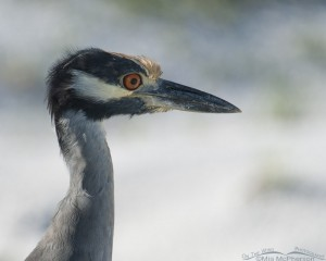 Portrait of an adult Yellow-crowned Night Heron