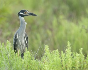 Yellow-crowned Night Heron right after a rain
