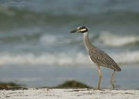 Strolling Yellow-crowned Night Heron