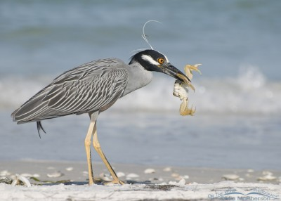 Yellow-crowned Night Heron with a Ghost Crab breakfast