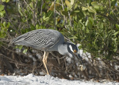 Yellow-crowned Night Heron, Ghost Crab and mangroves