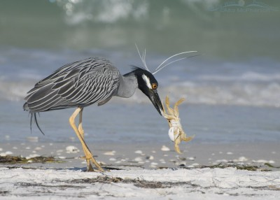 Yellow-crowned Night Heron with Ghost Crab