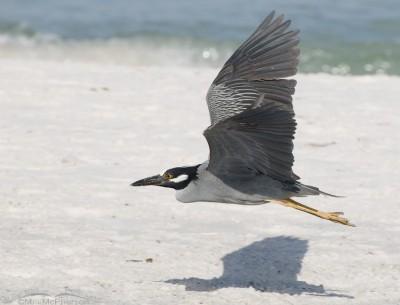 Yellow-crowned Night Heron in flight