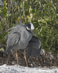 Yellow-crowned Night Heron shaking its feathers