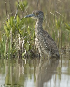 Juvenile Yellow-crowned Night Heron at the edge of a spartina marsh
