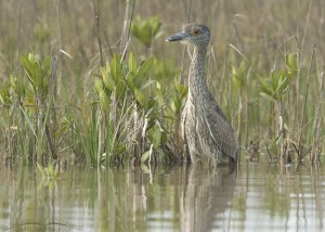 Young Yellow-crowned Night Heron in the spartina