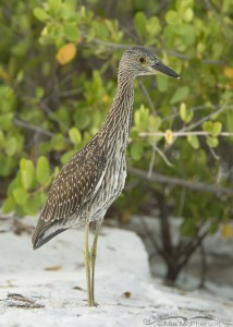 Young Yellow-crowned Night Heron in the mangroves