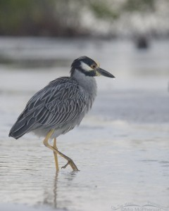 Yellow-crowned Night Heron in silvery light