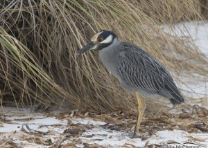 Yellow-crowned Night Heron in front of sand dune and sea oats