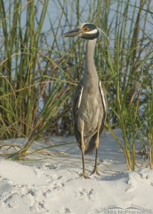 Yellow-crowned Night Heron on a sand dune