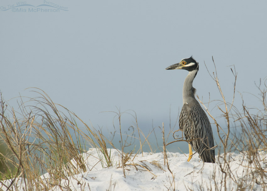 Yellow-crowned Night Heron and morning solitude