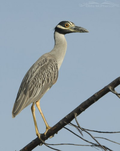 Yellow-crowned Night Heron on a downed tree