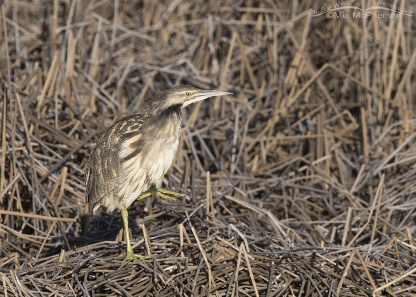 American Bittern standing on one leg