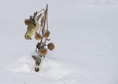 Upside down American Goldfinch in winter