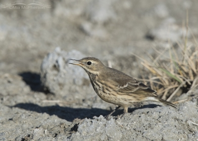 Calling American Pipit