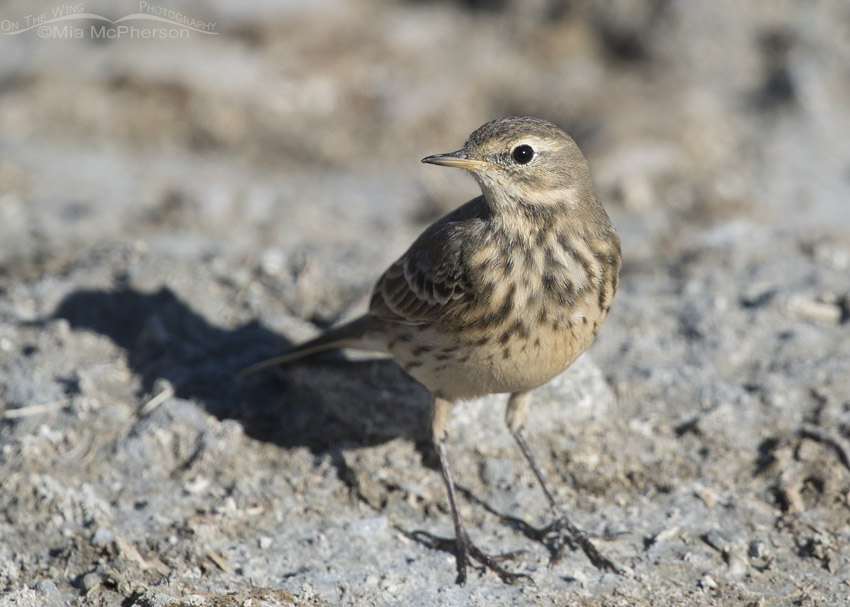 American Pipit close up
