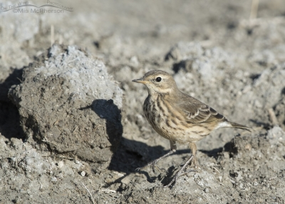 American Pipit and its shadow