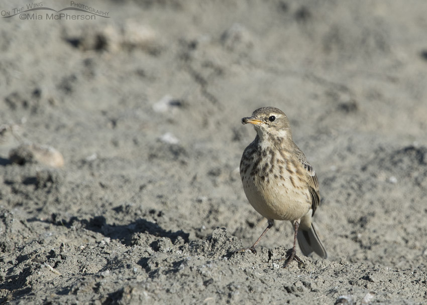 American Pipit with prey