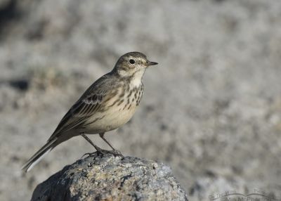 American Pipit in nonbreeding plumage