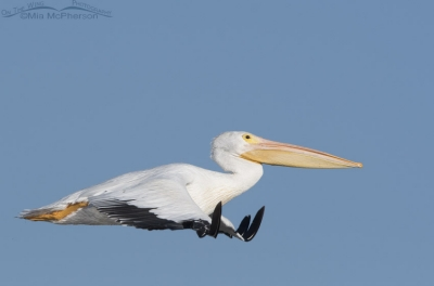 American White Pelican in flight over Farmington Bay WMA