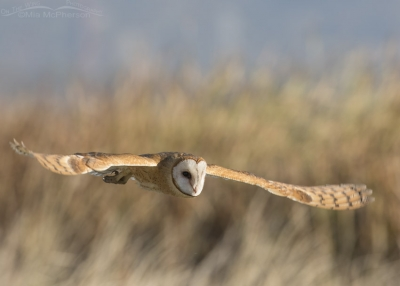 Barn Owl day time flight