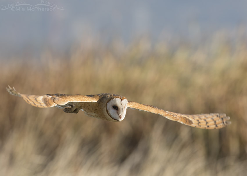 Barn Owl day time flight