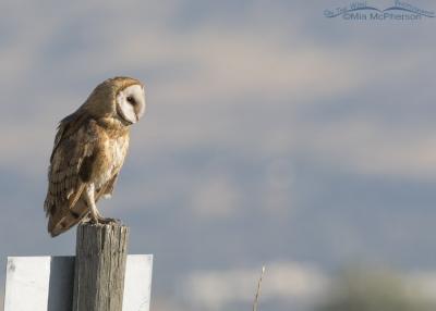 Barn Owl on a sign post at Farmington Bay WMA