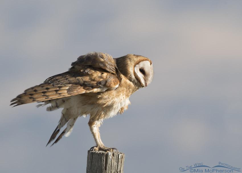 Rousing Barn Owl
