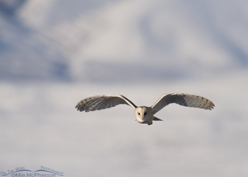 Barn Owl flight with snowy mountains