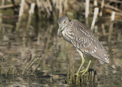 Juvenile Black-crowned Night Heron looking right at me