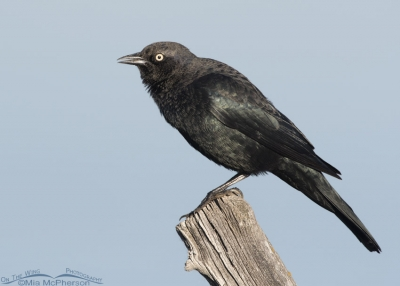 Male Brewer's Blackbird calling from a fence post