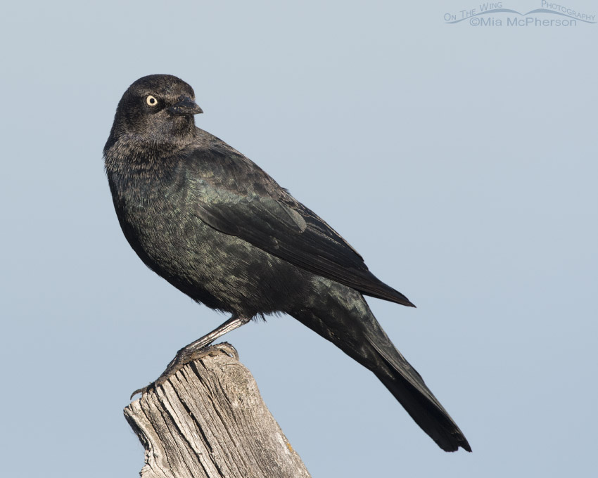 Brewer's Blackbird male during the fall