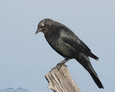 Male Brewer's Blackbird at Farmington Bay