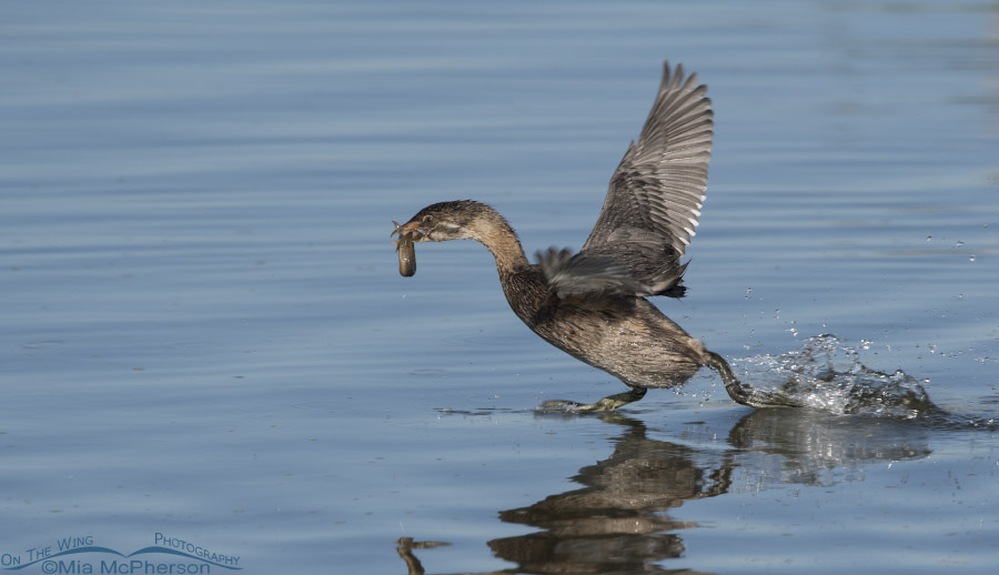 Immature Pied-billed Grebe being chased over the water