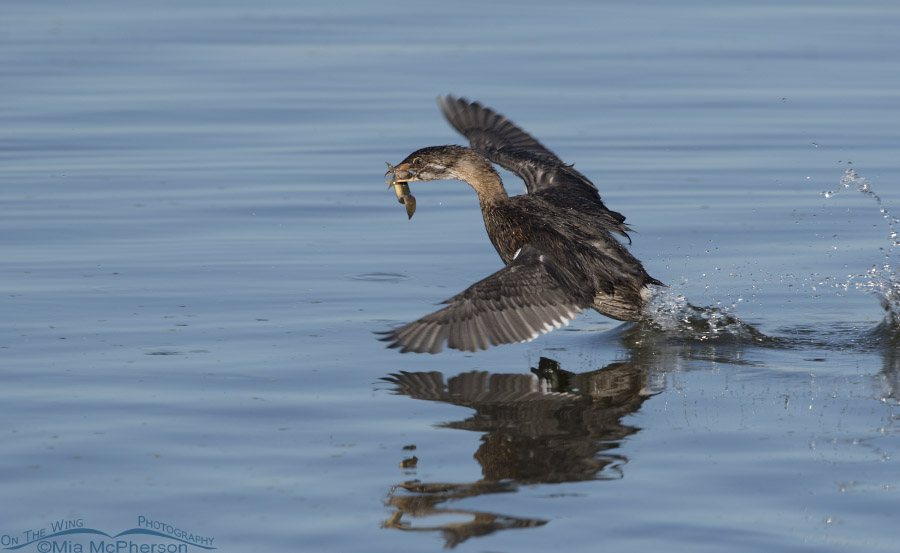 Immature Pied-billed Grebe running on the water with its prey