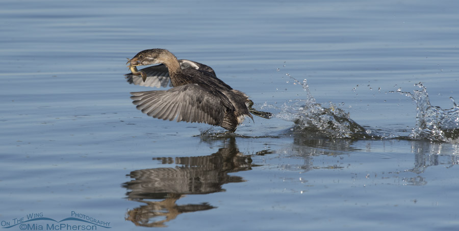 Immature Pied-billed Grebe rushing across the water with prey