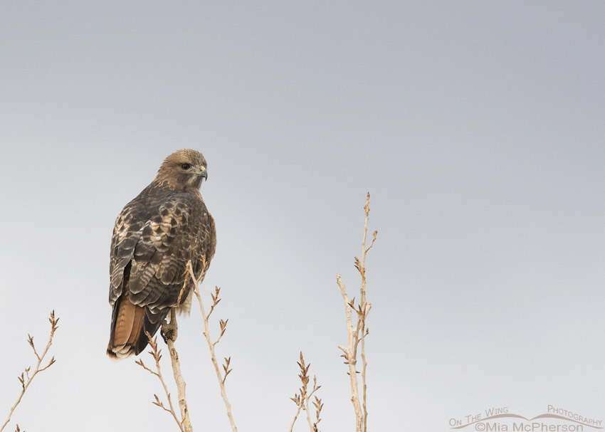 West Desert Red-tailed Hawk adult