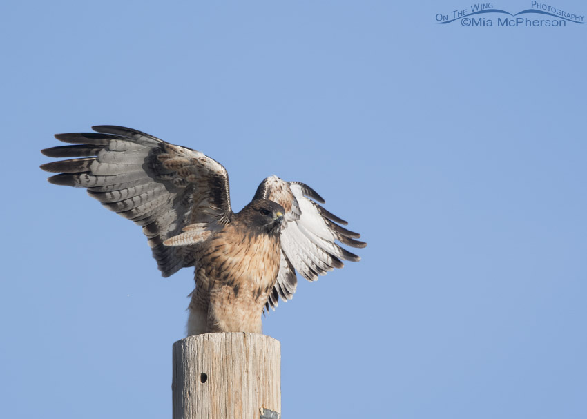 Red-tailed Hawk fluttering its wings on a pole