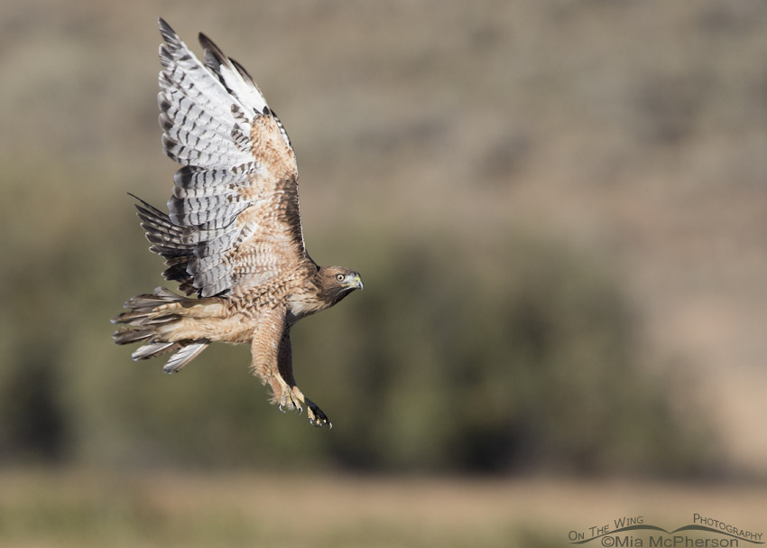 Sub-adult Red-tailed Hawk in flight