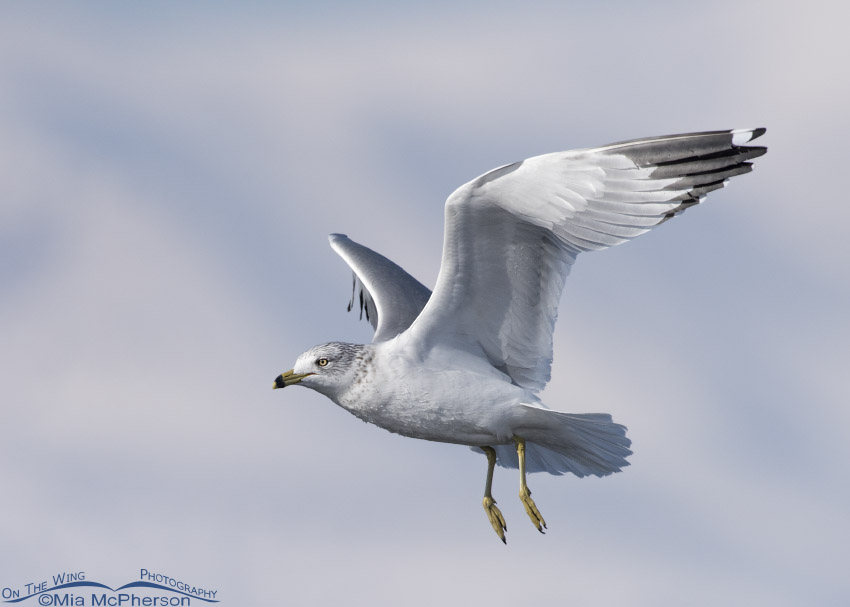 Winter Ring-billed Gull at Bear River MBR