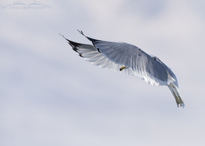 Hovering Ring-billed Gull in winter