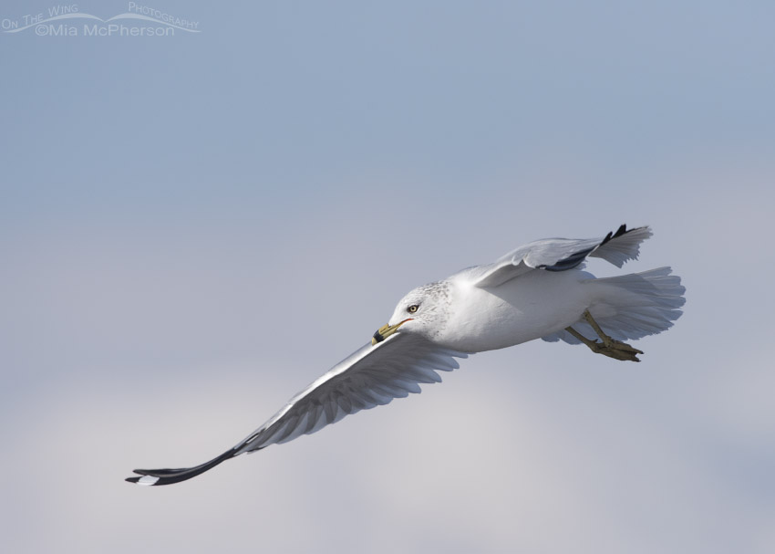 Ring-billed Gull in flight over open water
