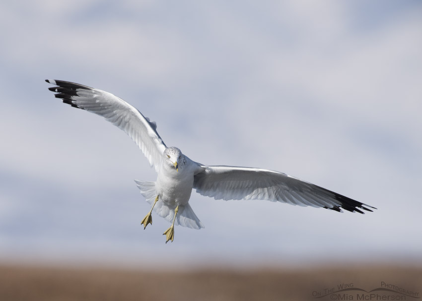 Ring-billed Gull in landing pose