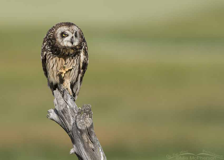 Female Short-eared Owl with open talons
