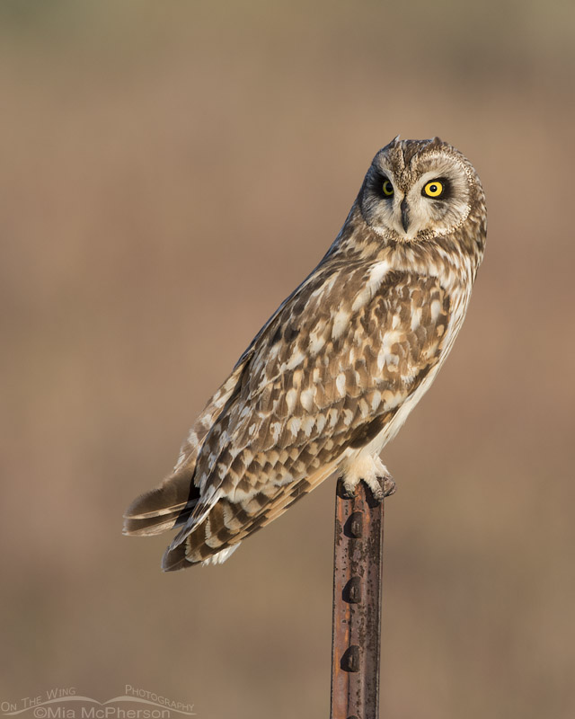 Adult male Short-eared Owl on a rusty metal post