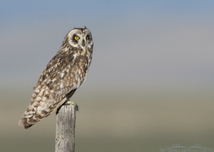 Centennial Valley Short-eared Owl male