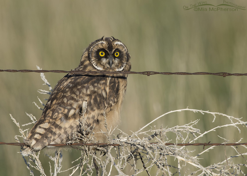 Short-eared Owl chick on a barbed wire fence